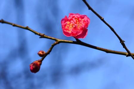 紅梅咲く京都御苑