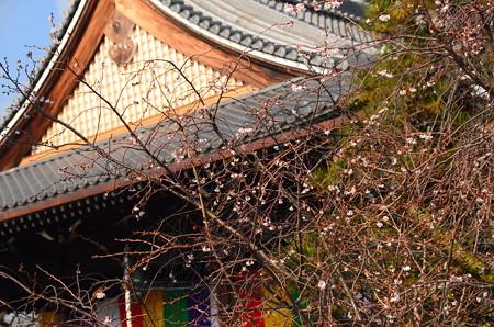 御会式桜咲く妙蓮寺