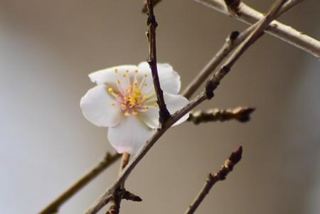 平野神社の桜 3