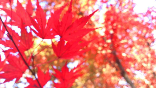 茅ヶ崎里山公園 紅葉 ぼやけ