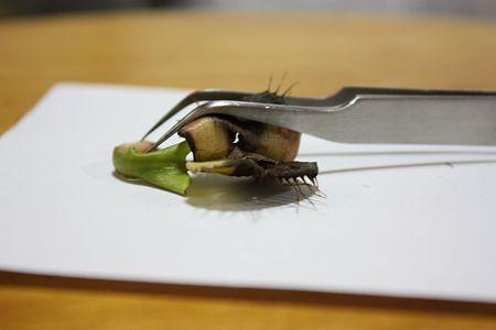 ディオネア・ムスキプラの捕虫葉