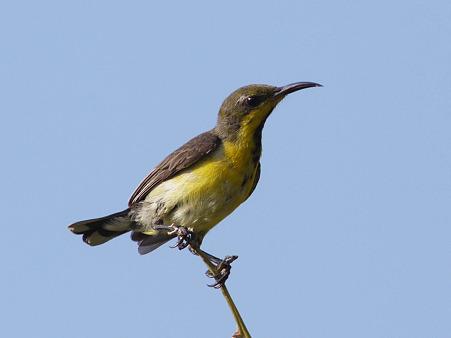 キバラタイヨウチョウ(Olive-backed Sunbird) P1120899_R