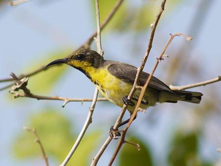 キバラタイヨウチョウ(Olive-backed Sunbird) P1120916_R