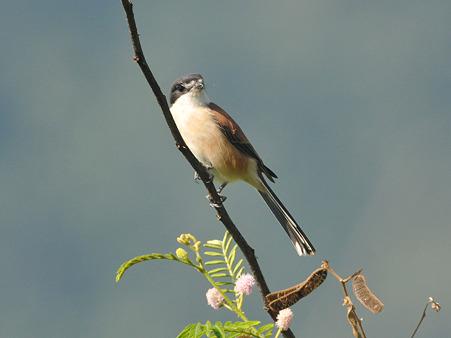 ハイガシラモズ♀(Burmese Shrike)  DSC_4569_R
