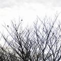 Photos: 枯木の鳥たち