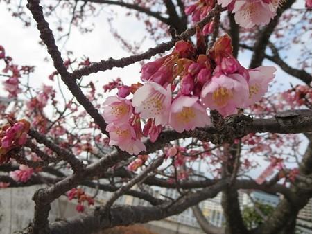 熱海桜アップ。いやあ、初桜でした。