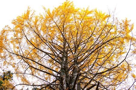 大洞院 【 だいとういん 】の銀杏の樹