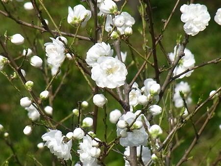 間白き 花桃