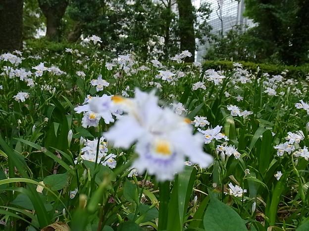 胡蝶咲く 2012-4