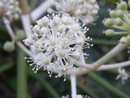 まる 八手の花