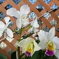 白花カトレアさん2種