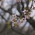 写真: 冬に咲いた春の花~サクラ♪
