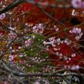 春と秋のコラボ 桜咲く紅葉1