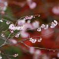 春と秋のコラボ桜咲く紅葉2