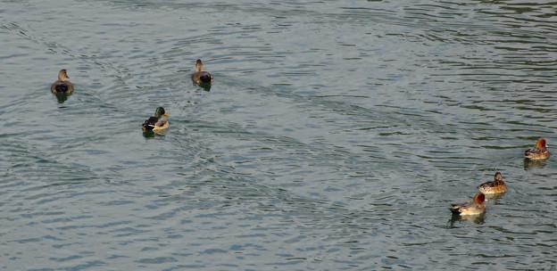 木曽川にいた沢山のカモ - 2