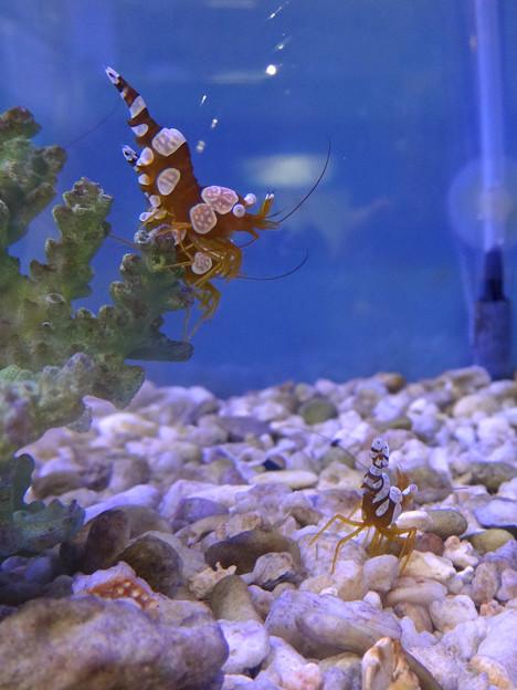 Photos: 名古屋港水族館 - 37:ユーモラスな姿をした、イソギンチャクモエビ