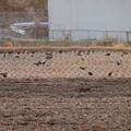 写真: 最近田んぼでよく見かける、カラス軍団 - 2