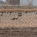 写真: 最近田んぼでよく見かける、カラス軍団 - 3