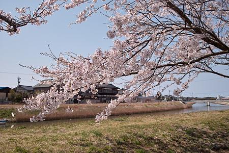 Cherry_blossom04212011dp1-09
