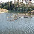 Photos: Cherry_blossom04292011dp1-02