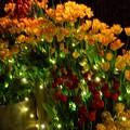 江ノ島サムエルコッキング苑のウインターチューリップ #湘南 #藤沢 #江ノ島 #mysky #バレンタイン #イルミネーション #夜景