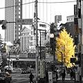 写真: 街銀杏