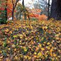 Photos: 秋色の絨毯