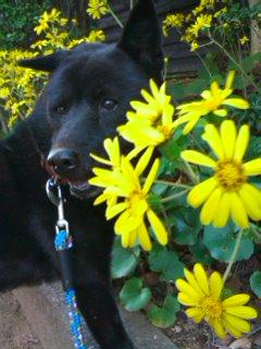 ツワブキの咲く散歩道を黒いワンコが歩く