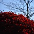 Photos: 赤い輝き