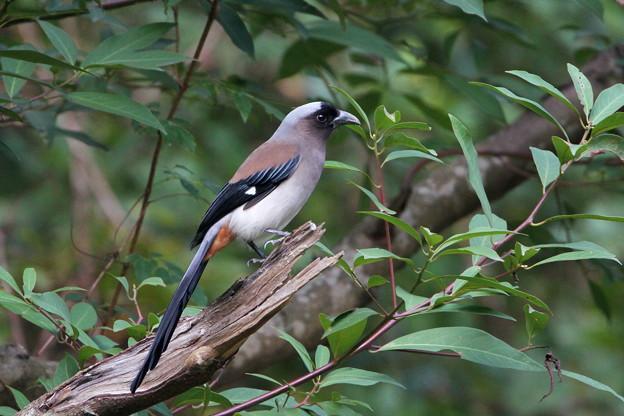 タイワンオナガ(1)IMG_1767