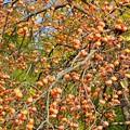 柿豊作の木