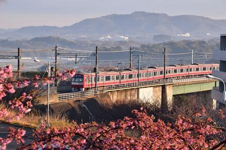 河津桜と銀千