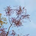 Photos: 爛心木(ランシンボク)