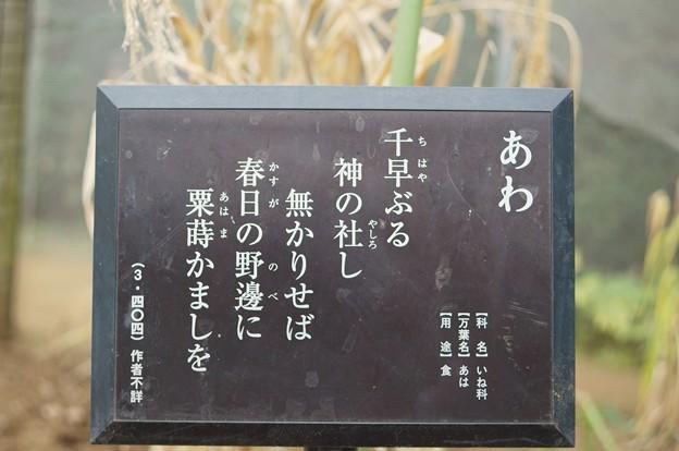 粟(アワ)