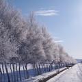 写真: 霜並木