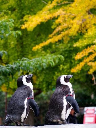 20141108 上野 ペンギンの秋01
