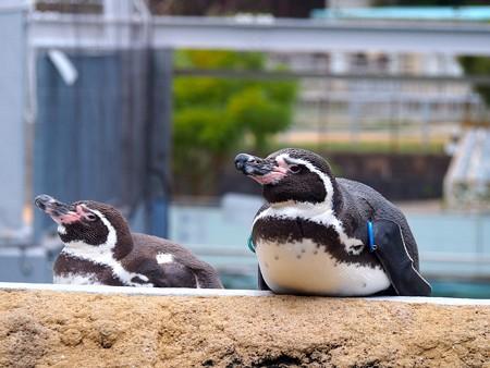 20141205 森きらら ペンギン館30