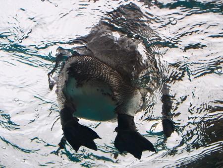 20141205 森きらら ペンギン館53