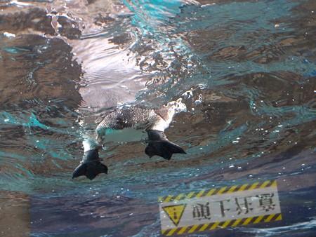 20141205 森きらら ペンギン館52