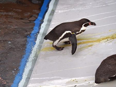 20141205 森きらら ペンギン館65