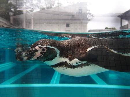 20141205 森きらら ペンギン館72