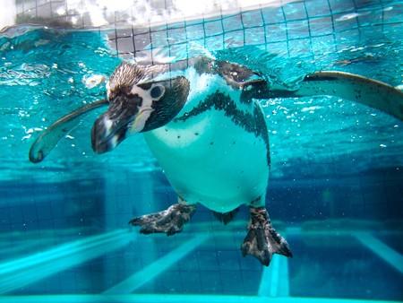20141205 森きらら ペンギン館71