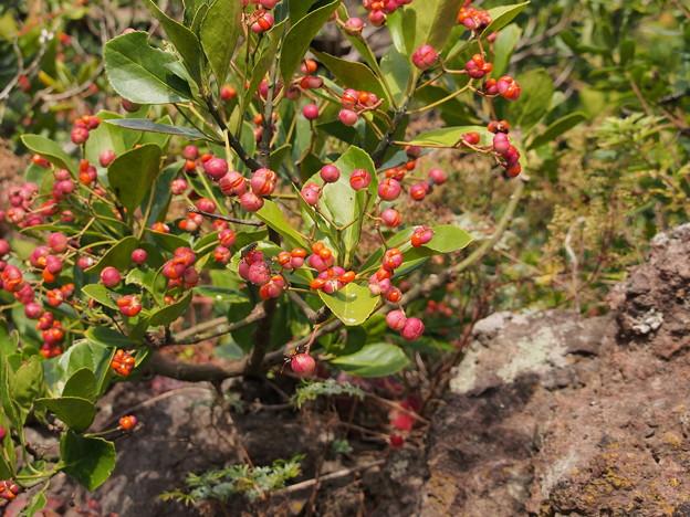マサキ Euonymus japonicus