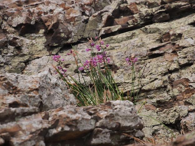 Photos: ヤマラッキョウ Allium thunbergii