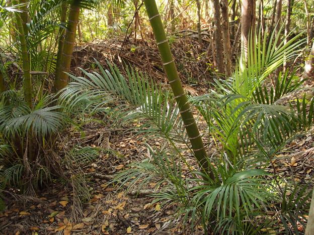 Photos: コガネタケヤシ(アレカヤシ) Vhrysalodocarpus lutescens