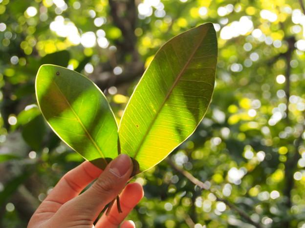 ムニンノキとアカテツの葉の比較