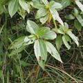 Photos: ヤナギバモクマオ Behmeria densiflora
