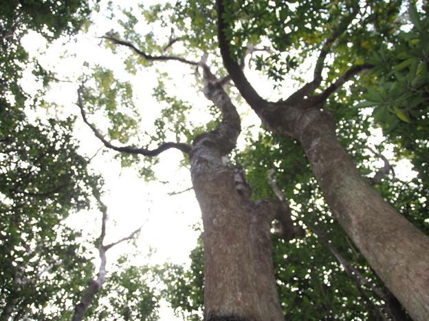クスノキ Cinnamomum camphora