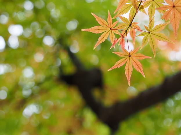 薄紅の紅葉