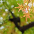Photos: 薄紅の紅葉